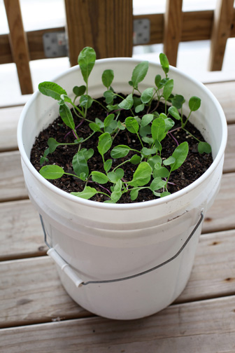 Radish plants in bucket for blog